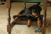 My Dogs / These are photos of my lovely dogs and their families. I'm addicted to Rottweilers, such an amazing breed. Much maligned but not justified. They are loving, trustworthy and very comical