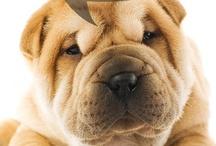 Puppy Love- Sharpei Puppies  / Sharpei Puppies