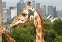 Taronga Zoo / We're so close to the famous Taronga Zoo, guests can hear the lions roar at night. Just another reason to love Cremorne Point Manor, with stunning views overlooking the Sydney Harbour! Here's the link to the zoo website: https://taronga.org.au/taronga-zoo Remember to book your stay with us: http://www.cremornepointmanor.com.au/