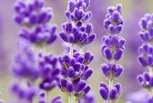 LavenderLoveLilac