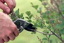 Pruning and plant health