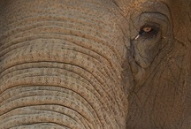 Pachyderms / Devoted to protecting these intelligent, loving creatures  and preserving their natural habitat.
