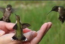 Hummingbirds / Flying Jewels / by Ines Brueckman