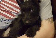 "Scottie Dogs / I am lovingly owned by a Scottie--and enjoy everything ""Scottie"". / by Jody Fuehrlein"