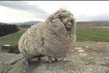 "Hipi / ""Sheep"" in Maori (New Zealand's language) / by Megan Wright"