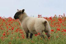 Photographie moi un mouton