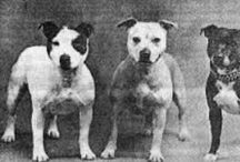 Staffordshire Bullterriers / Just some of theese small gladiators for love and inspiration