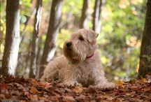 Irish Wheaten Terrier