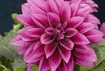 "Flowers | Dahlia / Collection of Dahlias | known as tuberous-rooted tender perennials that host colorful spiky flowers that bloom from midsummer to frost; Dahlias range in color and size from the giant 10"" dinner plate blooms to 2"" lollipop pompoms"