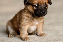 Border Terriers. Honestly?! / My new obsession.