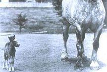 * MINIATURE HORSE *