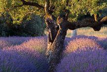 Lavendel und olive