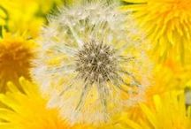 Dandelion / What if...?... What else is possible?