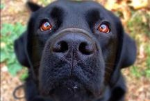 Labrador Retriever / Labrador retrievers originated in Newfoundland. They are loving, sweet, and eager to please. / by All about Dogs