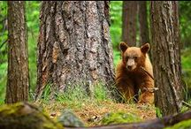Yosemite Wildlife / Wildlife sightings can be a memorable part of your Yosemite visit. Whether it's a fleeting glimpse of a great gray owl soaring overhead or of a black bear ambling through a Valley meadow, you are sure to remember the thrill of observing animals in their natural environment.