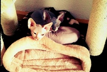 I adore my pets... / My old dog lives with my parents now, but my two sphinx cats make up for it!