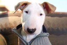 Adorable Bull Terriers! / by Angela Passetti