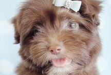 Havanese Puppies / Adorable Havanese puppies by TeaCups, Puppies & Boutique