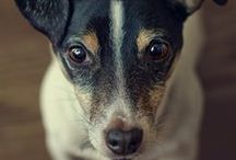 For The Love Of Jack Russells / Cute pics and gift of ideas of Jack Russells. 'In memory of my dear Buster'.