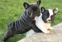 For The Love Of Frenchies / Cute pics and gift ideas of French Bulldogs.