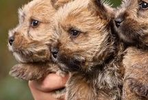For The Love Of Cairn Terriers / Cute pictures and gift ideas of the Cairn Terrier