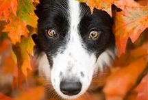 For The Love Of Border Collies / Cute pictures and gift ideas for Border Collies