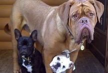 For The Love of Mastiffs / Cute pictures and gift ideas for Mastiffs (According to Wikipedia there are 25 different types)