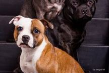 For The Love Of Staffordshire Bull Terriers / Cute pictures and gift ideas of Staffordshire Bull Terriers/Staffies