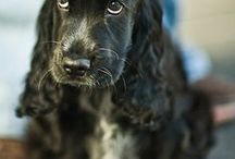 For The Love Of Cocker Spaniels / Cute pictures and gift ideas for Cocker Spaniels