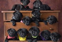 For The Love Of Labradors / Cute pictures and gift ideas for Labrador lovers
