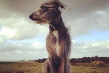 ForThe Love Of Lurchers / Cute pictures and gift ideas for Lurchers