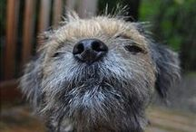 For the Love of Border Terriers / Cute pictures and gift ideas.