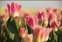 Tulpen in Noord Holland / Tulpen