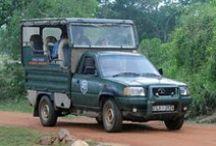 Op Safari in Sri Lanka / Sri Lanka is de perfecte bestemming voor natuurliefhebbers. Het land heeft een zeer gevarieerde flora & fauna en Sri Lanka telt dan ook vele nationale parken en natuurgebieden. Ga luipaarden spotten in Yala, bezoek de olifanten in Minneriya, maak een trekking door de Knuckles Range en World's End, beklim de Adam's Peak of ga op zoek naar de machtige blauwe vinvis in Mirissa! Boek de mooiste Sri Lanka  reizen bij Original Asia!