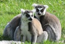 Lemuriens / Le Zoo de La Bourbansais accueille 3 espèces de Lémuriens : le Lémurien Roux, le Makki-Cata & le Lémur-Mongoz Les Lémuriens vivent dans un jardin arboré de 4000m² où les visiteurs peuvent se promener et entrer en contact avec ces superbes espèces!