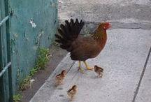 Kippen  en Kippen / by Bea Wamsteeker