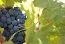 Harvest 2014 / It's summer. Grapes exposed to the warmth of sicilian sunlight are finally ripe. The most delicate and charming phase is starting. Winegrowers are ready.  We'll tell you, day by day, every step of the harvest.  #settesoliharvest #lovingsettesoli #harvest2014 #cronovendemmia2014 #winelover #vinosiciliano #menfishire #sicily