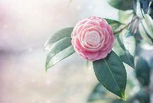 Camellias / House and Garden