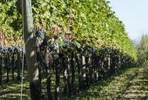 Monte Netto vineyards