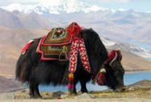 Zanskar (India) / Travel Zanskar with Tendrel travel www.tendreltravel.com