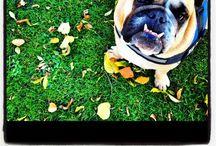 //Bulldog