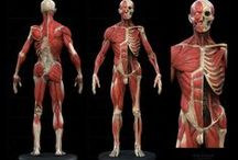 Anatomy Tools and Tips / Anatomy-related generalisations.