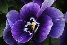 Violet - Purple - Morado / Couleur violet et ses varaitions :  prune, lilas, mauve, etc...