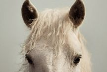 Horses / He bounds from the earth with the very exuberance of his spirit. -Xenophon- 400 B.C.