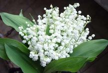 """Muguet - Lilly of The Valley / """"Müge"""" Çiçeği-Convallaria Majalis-Muguet Freshness-Mughetto.         Fransa'da, 1 mayıs sabahı sevdiklerine, bayanlara ve de sevdiği bayana bir tutam güzel kokan müge çiçeği verilir.   1 Mayısta bu çiçeği verme adeti ise rönesansta Charles IX tarafından 1561de etrafındakilere şans, mutluluk getirici çiçek olarak verilmesiyle baslar. İlkbaharı, gelecek güzel günleri, üretimlerin bol olması ve de mutluluk isteğini belirtir.  Bu şans, mutluluk getirici çiçek ayni zamanda evlilik yıl dönümlerinde 13 yılını sembolize eder.   XX. yüzyılda iş bayramıyla (1889) birlikte anılmaya başlanır.  Mareşal Petain zamanında işçi bayramı olan 1 Mayıs iş bayramı olarak değişir. Simgesi olan sol görüşü belirten kırmızı eglantinin yerini tarafsız ve sevgi belirtisi müge alır.  1936'da Fransa'da senelik tatil hakki elde edilirken sokaklarda satılmaya başlanır.    Sadece o gün için is yerleri dışında kişiler, kuruluş ve dernekler tarafından ticaret ve sanayi odasına kayıt olmadan satma hakki oluşur.  1982 de, Finlandiya'nın resmi çiçeği olur.    Fransa'da çoğunlukla Nantes bölgesinde üretilen muguet parfüm yapımıyla tanindi.  XVI. yüzyılda özellikle erkekler tarafından beğenilen muguet XIX. yüzyıla kadar efendi ve karizmatik erkeğin kokusunu simgeledi.  Günümüzde ise kadın kalbini simgeler.  1956da Edmond Roudnitska Diorissimo adli parfümünde soliflore olarak muguet'yi kullanır.   3–4 hafta yaşamı olup sonra solan bir çiçektir."""