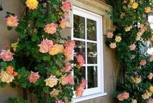 "Gazing at Roses / Irresistible roses! Old roses, hybrid tea roses, climbers,  ""shrubby chic."" :-) All have charm."