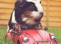 Guinea pigs / Cute fluffy guinea pig pics