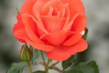 Flowers / Beautiful flowers and pics of flowers