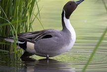 Birds  الطيور / الطّيور هي حيوانات فقاريّة، تتكاثر بالبيوض، وهي من ذوات الدّم الحارّ، تمتلك أجنحة وريش، ومنقار، وتستطيع الطيران والتحليق في الجوّ، وهي تعتبر أكثر أنواع الحيوانات الفقاريّة عدداً وأنواعاً، حيث يوجد منها عشرات الآلاف من أنواع الطّيور المختلفة والتي تختلف في الشّكل، والحجم، والعادات، والتّواجد. ومما يجدر ذكره أنّ ذكور الطيور تتمتع بألوان مزخرفة ومرزكشة أكثر من الإناث، وهذا له تأثير في عمليّة التكاثر، بينما تختلف ألوان الطّيور كثيراً فيما نتيجة للبيئة التي تكيّفت هذه الطيور فيها. / by Dr. Marwan Haddad