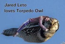 Memes of Torpedo Owl